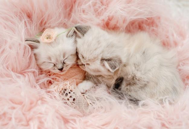 Due adorabili gattini ragdoll che dormono insieme avvolti in una pelliccia rosa pesca e una coperta lavorata a maglia con un fiore sulla testa durante il servizio fotografico in stile neonato in studio. ritratto di gattini carini
