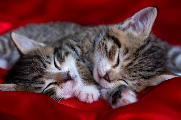 Gattino a strisce adorabile due che si trova dormendo sulla coperta rossa. simpatici animali domestici gatti, san valentino e cartolina di natale