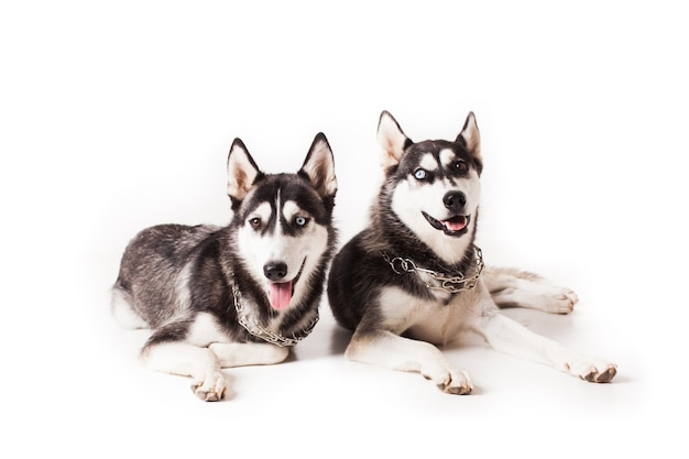 Due cani adulti husky con occhi di colore diverso e una catena intorno al collo, isolati su bianco