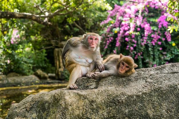 Macaco adulto di rhesus di due scimmie del viso arrossato che si governa nel parco naturale tropicale di hainan, cina. scimmia sfacciata nell'area della foresta naturale. scena della fauna selvatica con animale di pericolo. mulatta macaca.