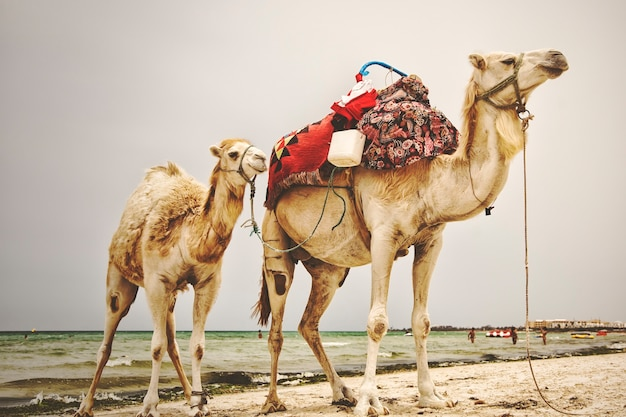 Due cammelli arabi decorati con abiti tradizionali berberi sulla spiaggia del mar mediterraneo. i cammelli turistici stanno aspettando i turisti. stagione turistica aperta. località turistica in tunisia, africa, all'inizio della primavera