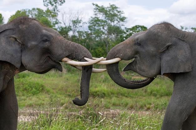 Due elefanti asiatici che giocano tra loro. indonesia. sumatra. parco nazionale di way kambas.