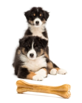 Due cuccioli di pastore australiano, sdraiato e guardando l'osso dell'articolazione su sfondo bianco