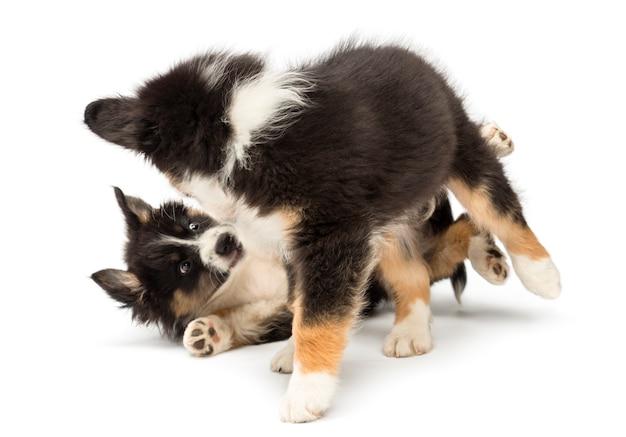 Due cuccioli di pastore australiano giocano a combattere contro uno sfondo bianco