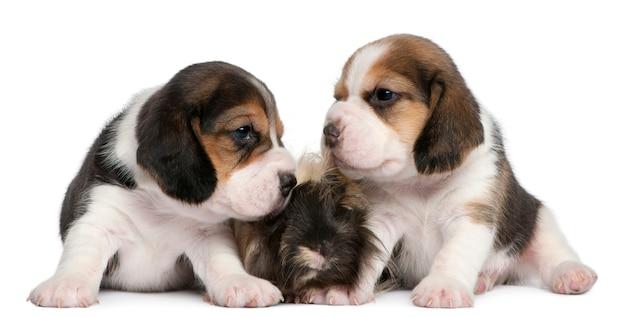 Due cuccioli di beagle, 1 mese di età e porcellino d'india peruviano, 6 mesi di età,