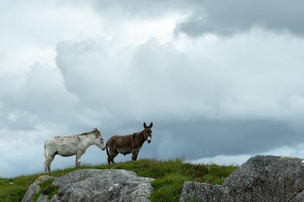 Due bellissimi asini nel paesaggio montuoso del connemara galway irlanda