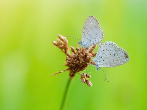 Due belle farfalle di lime o limone allevate a portata di mano con sfondo sfocato nella natura