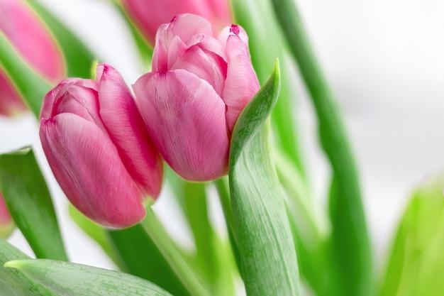 Due bellissimi tulipani rosa contro uno sfondo sfocato di steli e foglie verdi. bouquet di delicati fiori primaverili come regalo per le vacanze. messa a fuoco selettiva
