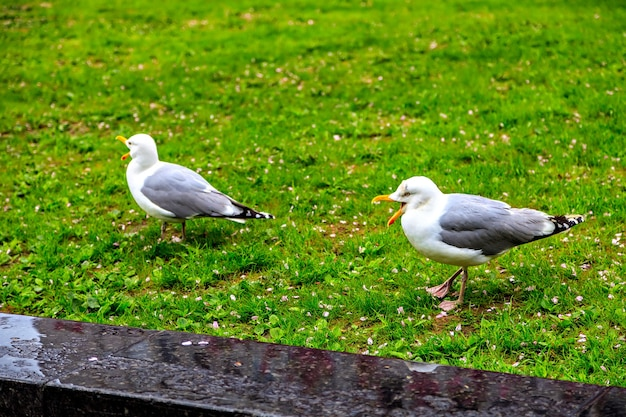 Due bellissimi gabbiani camminano sull'erba