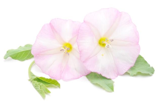Due bellissimi fiori bianchi e rosa, isolati su bianco.
