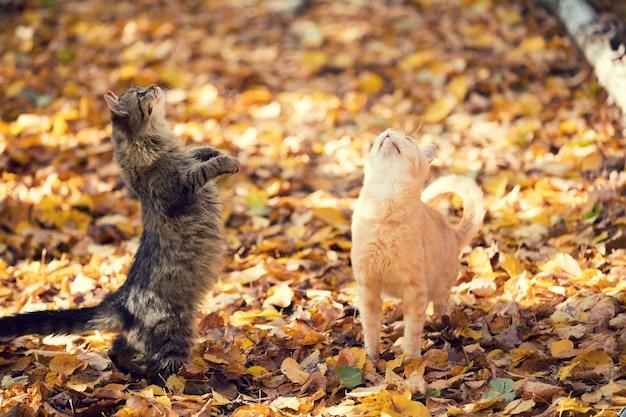 Due gatti mendicanti che camminano all'aperto sulle foglie cadute in autunno
