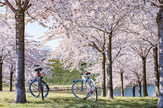 Due biciclette sotto l'albero rosa di sakura, alberi del fiore di ciliegia in parco.