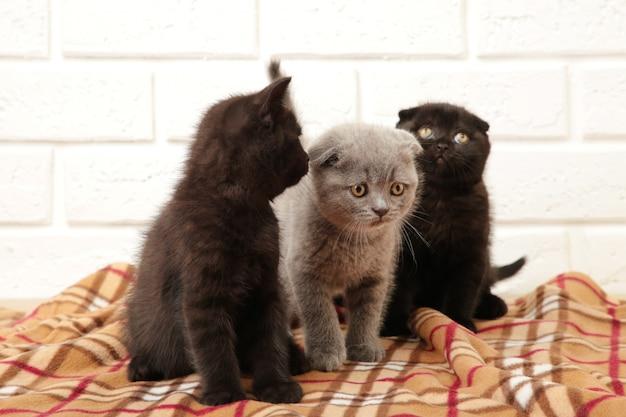 Due gattini britannici neri e uno grigio su sfondo plaid