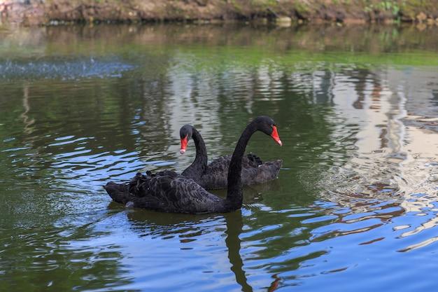 Due cigni neri nel lago in estate