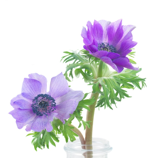 Due fiori di anemone blu isolati su sfondo bianco