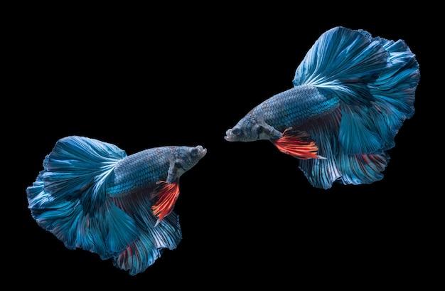 Due pesci blu combattenti siamesi, betta splendens
