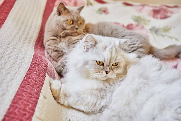 Due gatti britannici, a pelo lungo e a pelo corto, sono seduti sul letto.