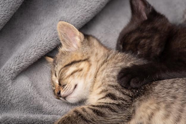 Due gattini fratello e sorella che dormono su un plaid grigio. bellissimi gattini soffici che si riposano