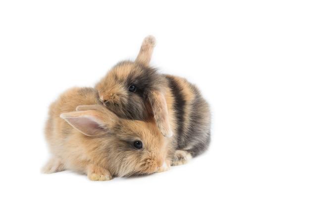 Un coniglio marrone adorabile del bambino due su fondo bianco