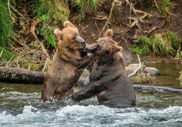 Due orsi bruni stanno giocando tra loro nell'acqua. stati uniti d'america. alaska. parco nazionale di katmai.