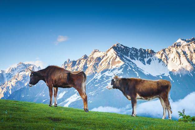 Due mucche marroni che pascono sui pascoli di montagna verdi