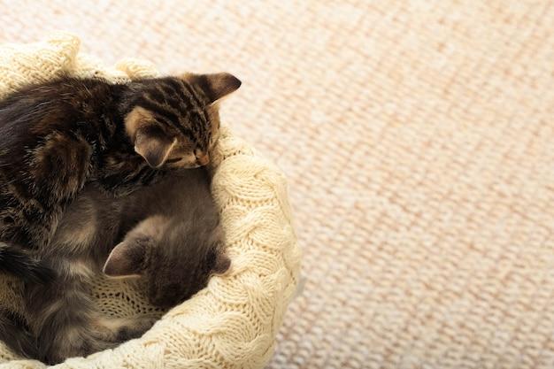 Due gattini di gatti a strisce marroni dormono su un plaid beige di lana lavorato a maglia. piccolo simpatico gatto birichino. casa accogliente. spazio di copia vista dall'alto.