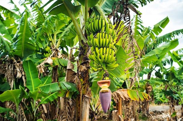 Due grappoli di banane che crescono su un albero sul terreno dell'isola di mauritius