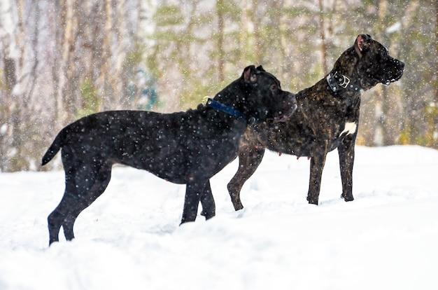 Due cani di cane corso nella neve e nella foresta di profilo