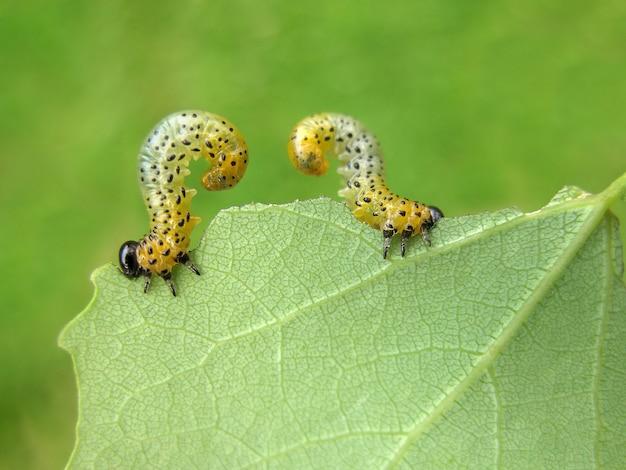 Due bruchi mangiano una foglia di un albero in giardino.