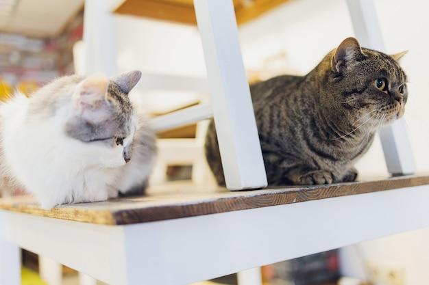 Due amici gatti razze di maine coon e calicò seduti sotto e sopra una sedia guardando attraverso la finestra nel soggiorno di casa.