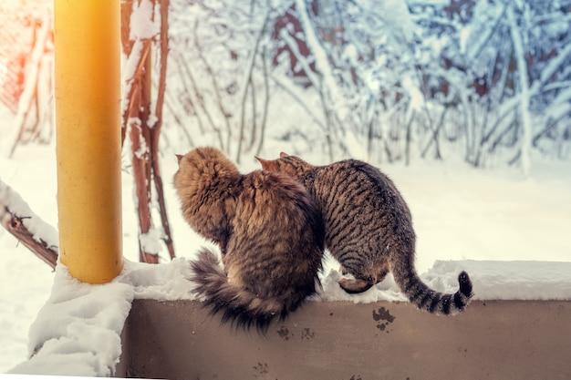Due gatti si siedono sul balcone all'aperto, godendosi la neve. gatti che guardano i fiocchi di neve
