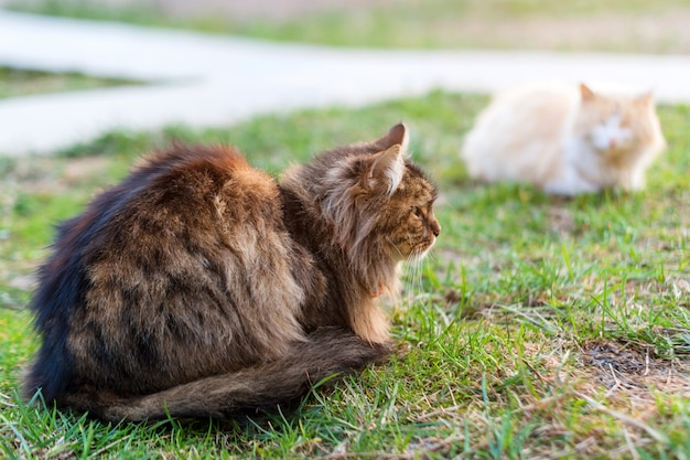 Due gatti che si siedono sull'erba verde. gatti randagi all'aperto. animali, animali domestici nel parco