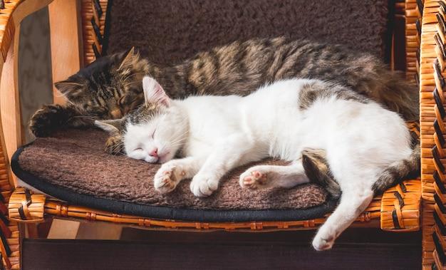 Due gatti dormono su una sedia di vimini. animali_
