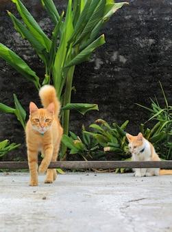 Due gatti con pelo a strisce marrone chiaro in cortile