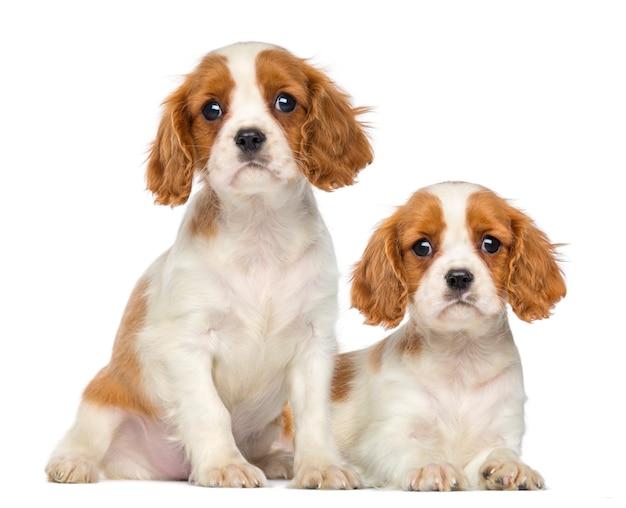 Due cavalier king charles puppies seduti