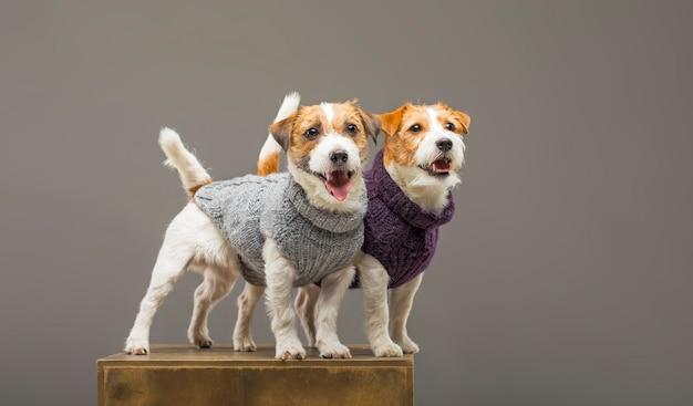 Due affascinanti jack russell in posa in studio in caldi maglioni