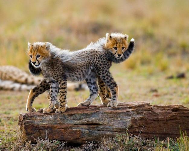 Due cuccioli di ghepardo sono in piedi su una roccia.