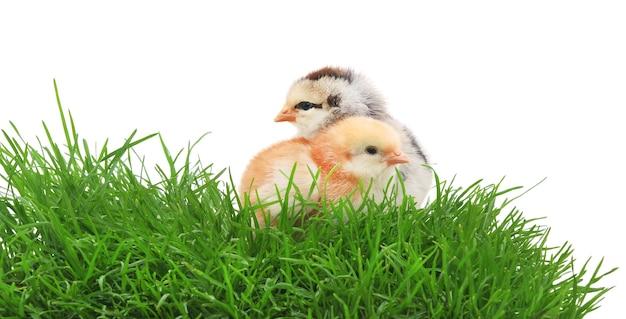 Due polli in erba su sfondo bianco.