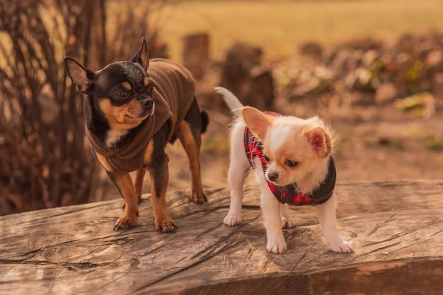 Due cani chihuahua su una panca in legno. cani vestiti. animali domestici per una passeggiata in una giornata di sole. chihuahua, animale domestico