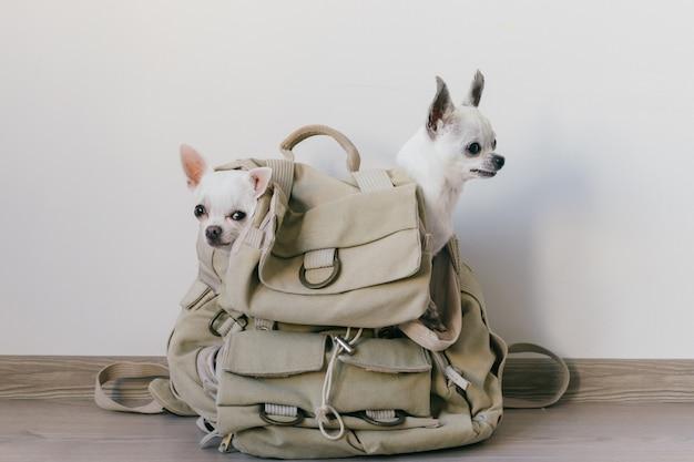 Due cuccioli di chihuahua seduti nella tasca dello zaino di tela hipster con facce buffe e guardando modi diversi. i cani viaggiano. confortevole relax animali in vacanza. famiglia di animali che si trovano insieme a casa