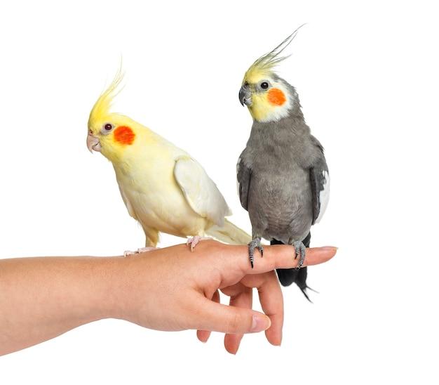 Due cockatiel sulla mano umana, isolata su bianco