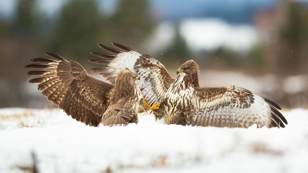 Due poiane comuni che combattono sulla neve nella natura invernale