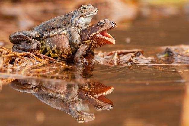 Due rane comuni che si accoppiano nello stagno nella natura di primavera