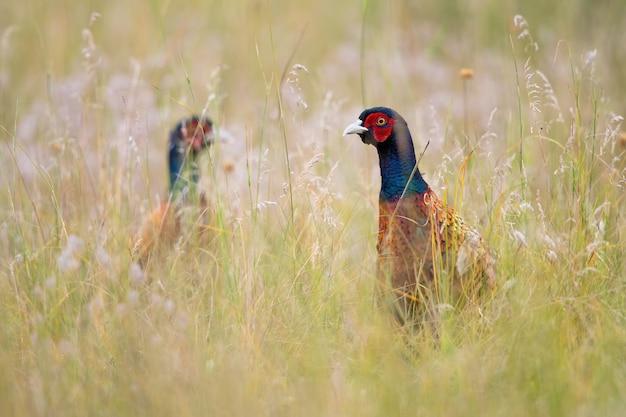 Due fagiani comuni che guardano il prato in estate natura
