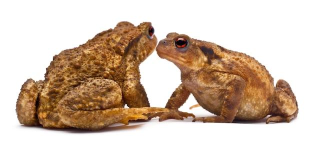 Due rospi comuni o rospo europeo - bufo bufo uno di fronte all'altro