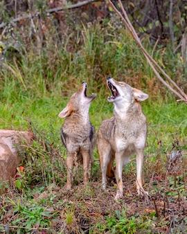 Due coyote che ululano insieme nel bosco