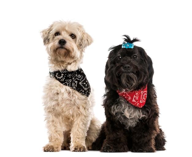 Due cani di razza incrociata che indossano una sciarpa
