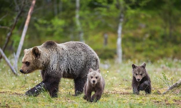 Due cuccioli giocano l'uno con l'altro accanto all'orsa