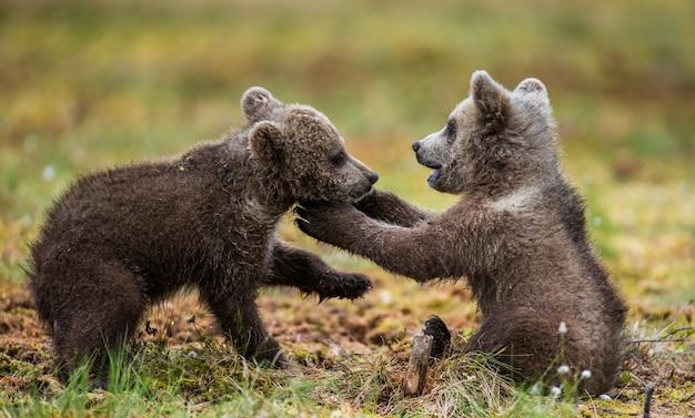 Due cuccioli giocano tra loro
