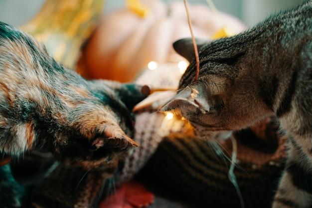 Due gatti curiosi guardano sullo sfondo una sciarpa lavorata a maglia con zucche di diverse forme e colori